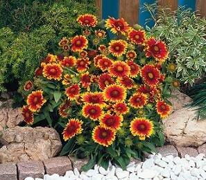 Blanket Flower, Arizona Sun