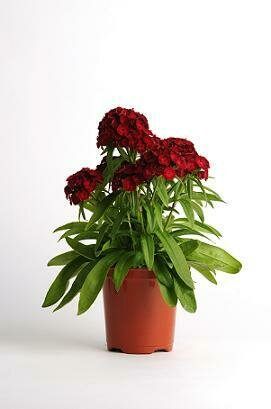 Carnation, Dash Crimson