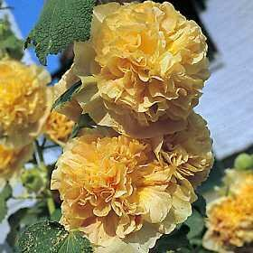 Hollyhock, Chater's Double Yellow