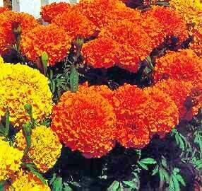 Marigold, African, Cortez Orange
