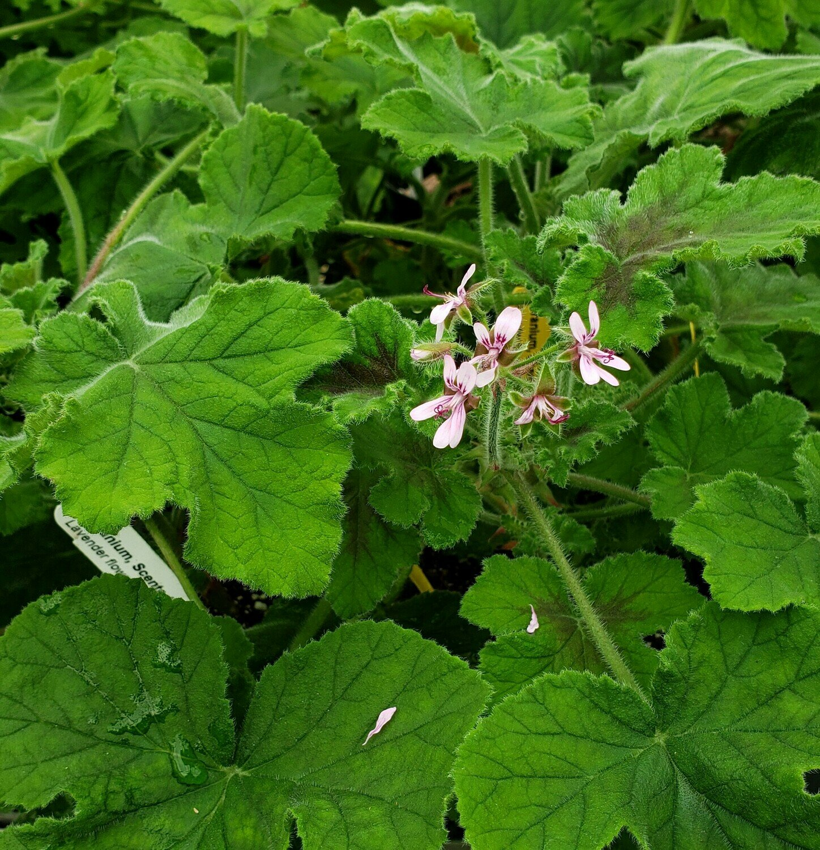 Scented Geranium, Chocolate Mint