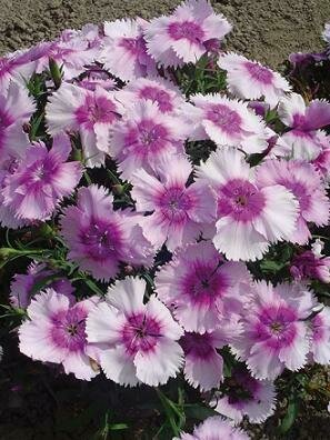 Sweet William, Diana Lavender Picotee