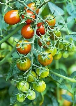 Tomato, Cherry/Grape, Moby Grape (Determinate)