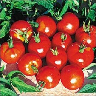 Tomato, Slicer, Stupice (Indeterminate)