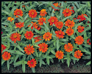 Zinnia, Profusion Orange