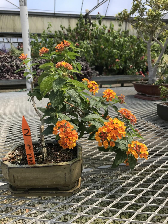 Lantana, orange-flowered (Large)