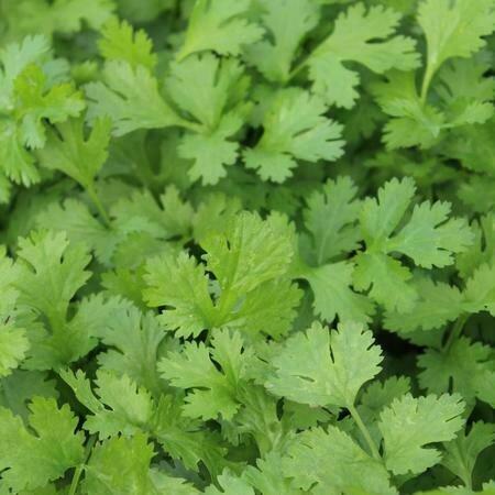 Easy Seeds: Cilantro (Calypso)