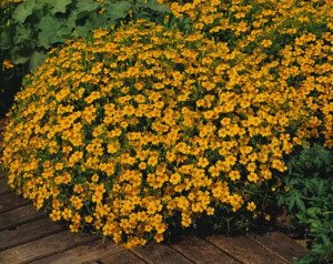 Easy Seeds: Marigold, Tengerine Gem