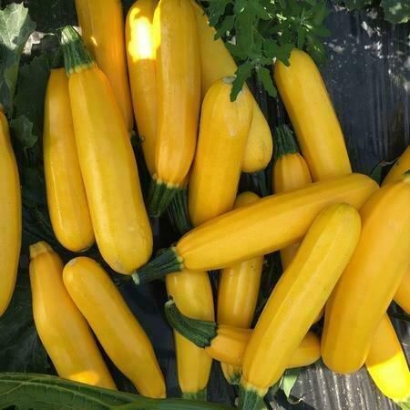 Easy Seeds: Squash, Zucchini (Golden Star)