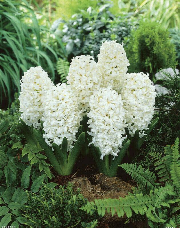 Hyacinth - Carnegie