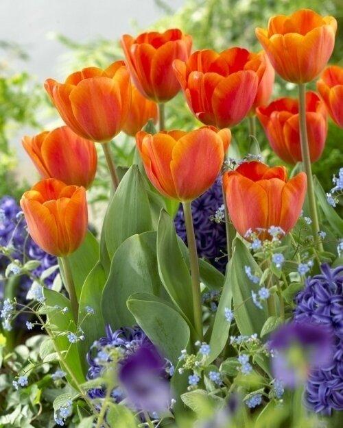 Tulip - Annie Schilder