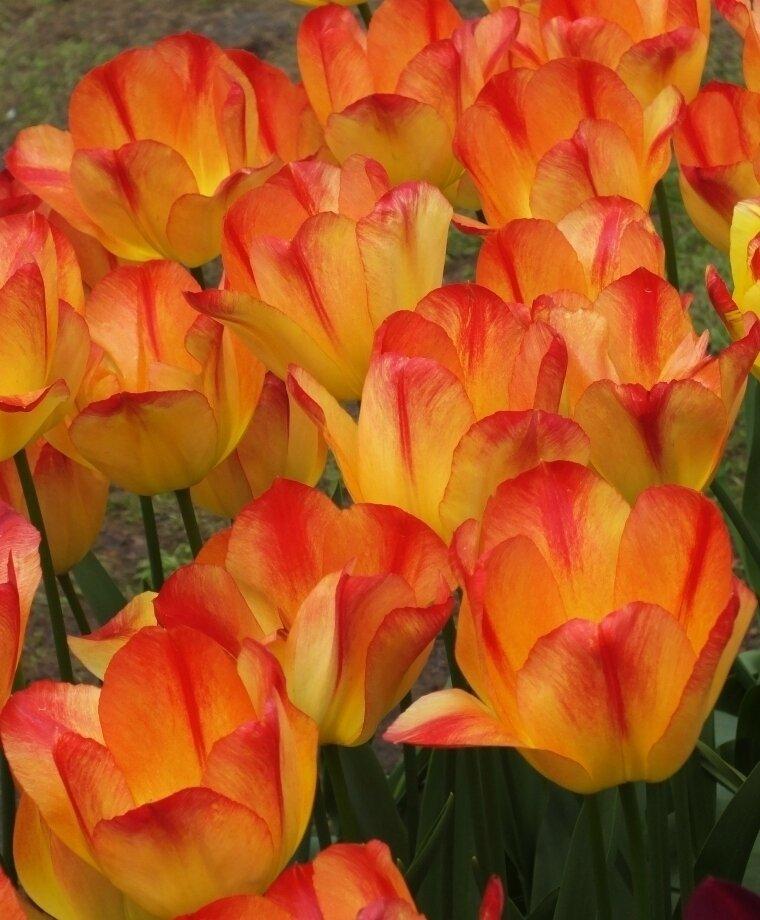 Tulip - Suncatcher