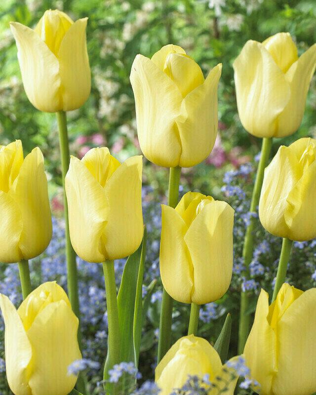 Tulip - World Friendship