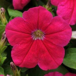 Petunia, Floribunda, Pretty Flora Pink