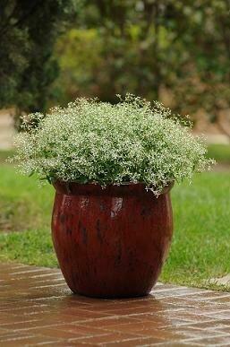 Euphorbia, Glitz
