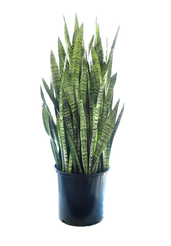 """Snake Plant (4"""" Pot)"""