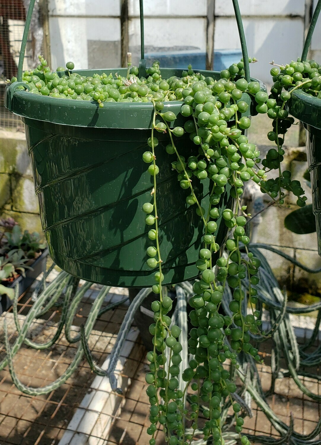 Succulent, String-of-Pearls (Hanging Basket)