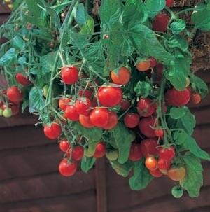 Vegetable/Tomato, Tumbling Tom Red (Hanging Basket)