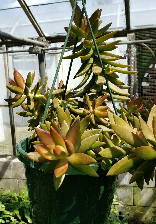 Succulent, Coppertone Sedum (Hanging Basket)