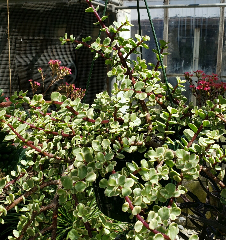 Succulent, Rainbow Bush (Hanging Basket)