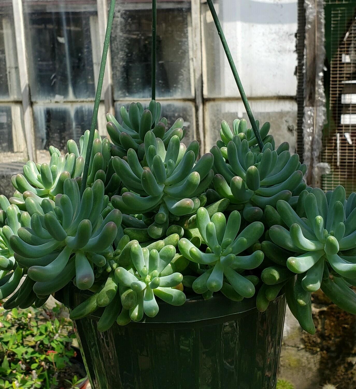 Succulent, Jelly Bean Plant (Hanging Basket)