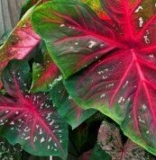 Caladium, Red Flash