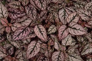 Polka Dot Plant, Splash Pink