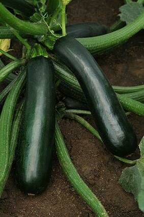 Squash, Zucchini, Easy Pick Green