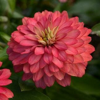 Zinnia, Double Salmon