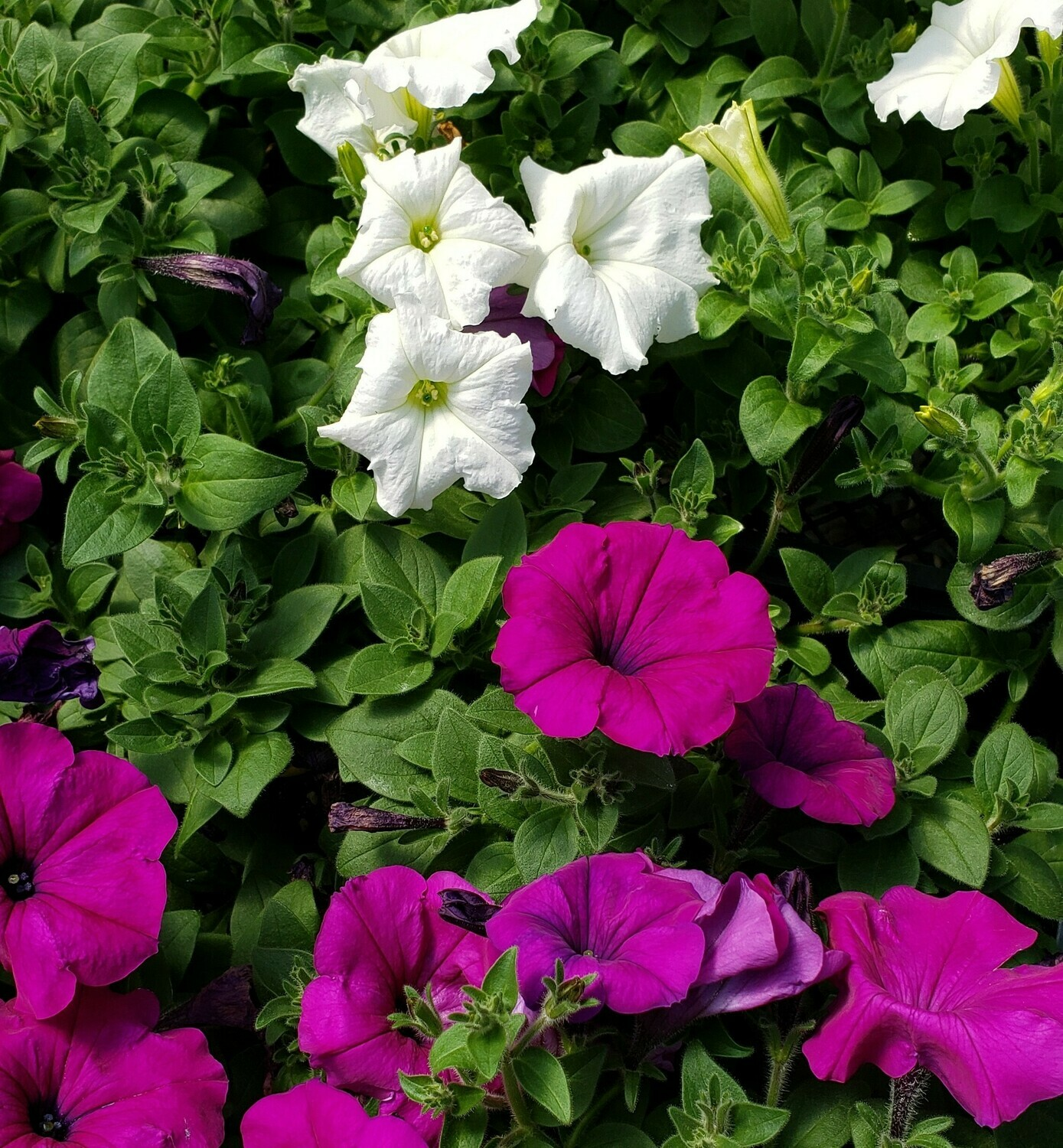 Sun/Petunia, Easy Wave Violet & White (Hanging Basket)