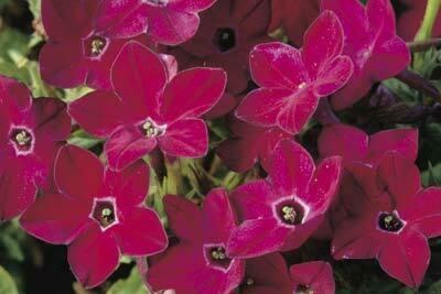 Flowering Tobacco, Saratoga Red