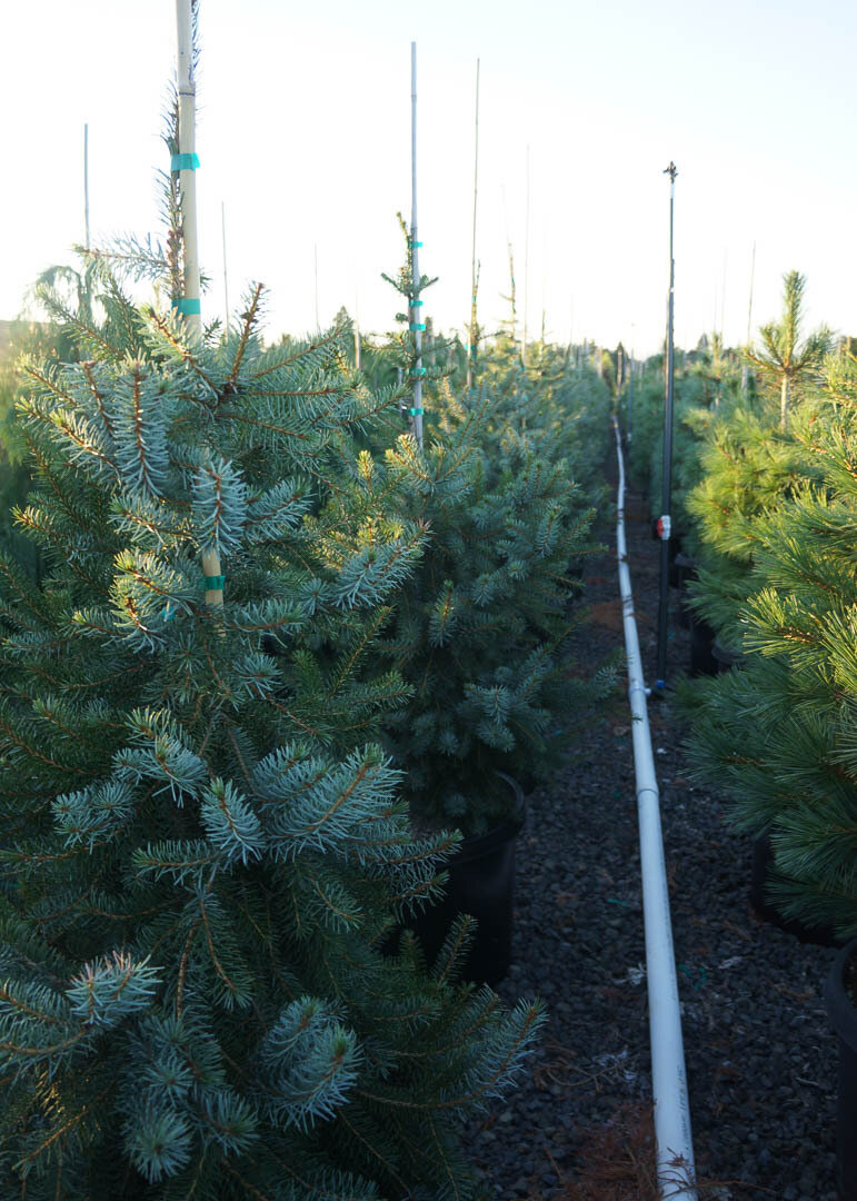 Bruns Serbian Spruce Tree