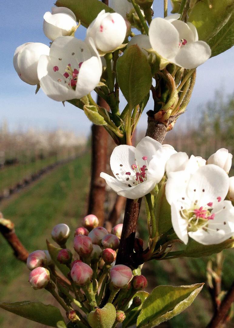 Jack® Dwarf Flowering Pear Tree
