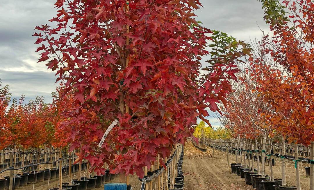 Acer, Urban Sunset Maple Tree