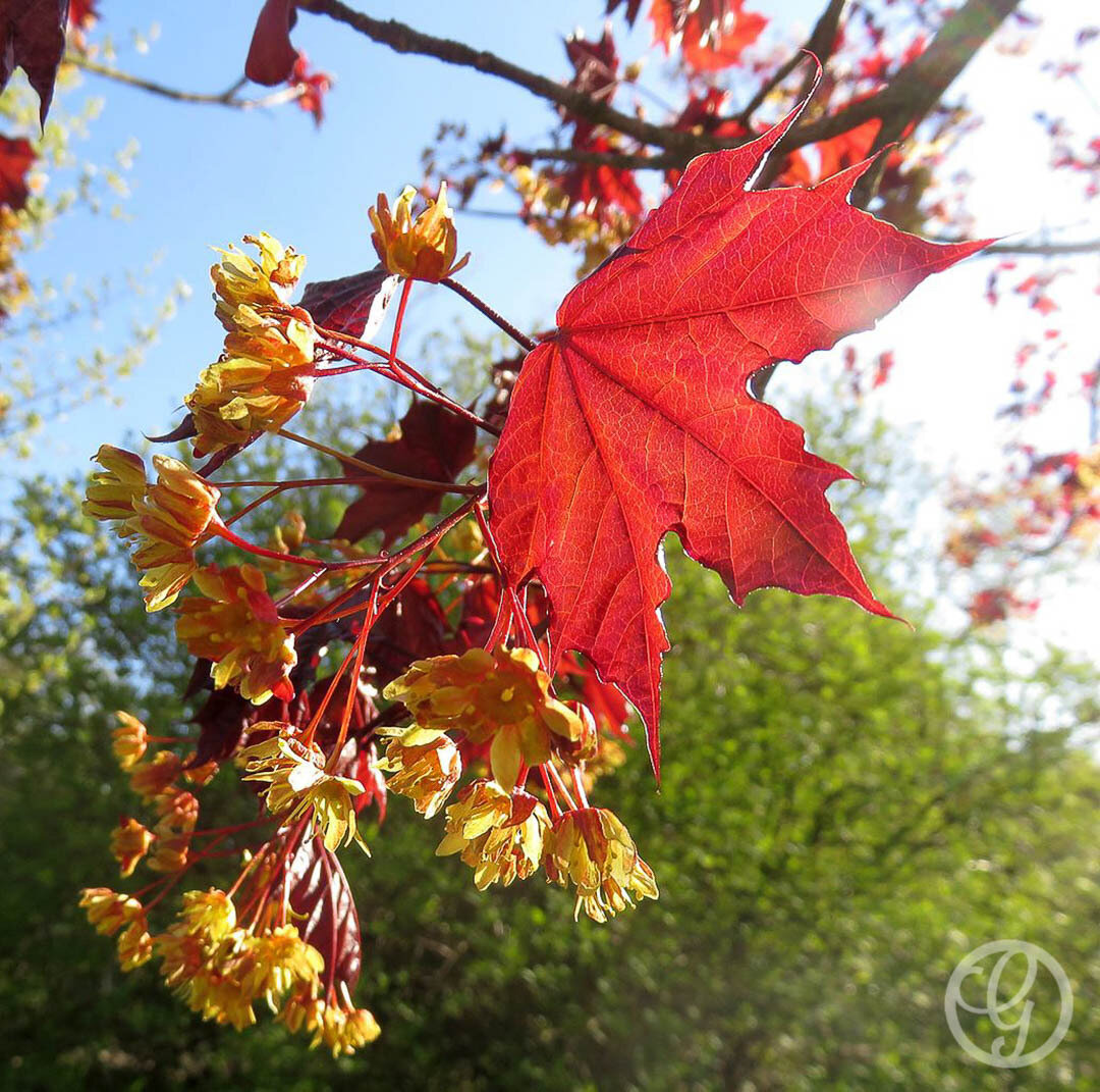 Acer, Royal Red Maple Tree