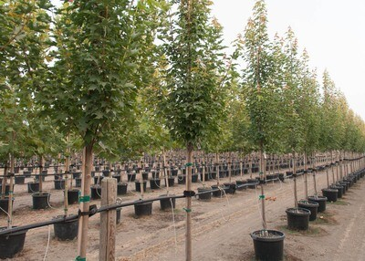 Acer, Armstrong Gold® Maple Tree