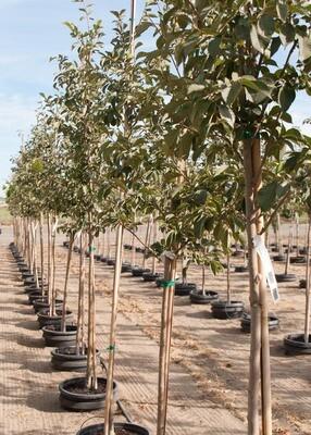 Ulmus, Accolade™ Elm Tree