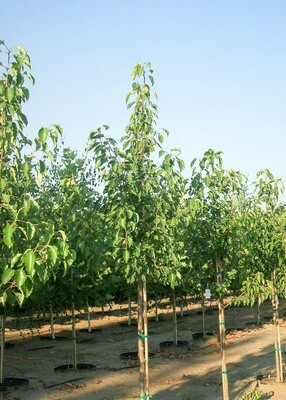 Aristocrat Pear Tree