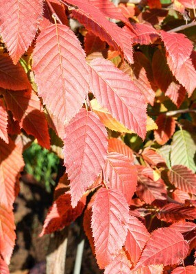 Carpinus, American Hornbeam Tree