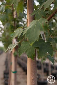 Burgundy Belle® Red Maple Tree