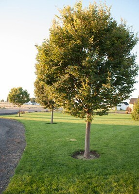 City Sprite® Zelkova Tree