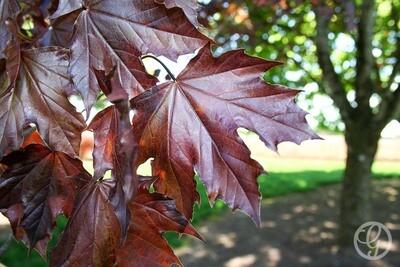 Crimson King Norway Maple Tree
