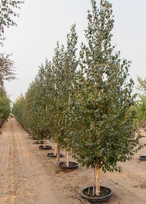 Betula, Dakota Pinnacle Birch Tree