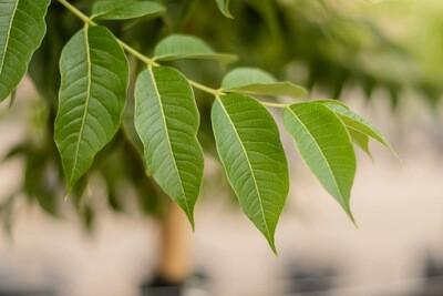 Eye Stopper™ Cork Tree