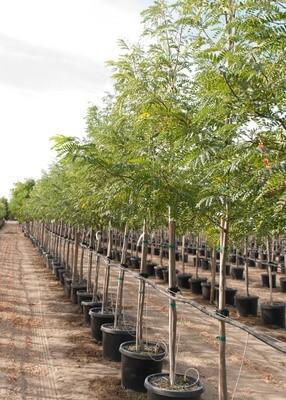 Halka™ Honeylocust Tree