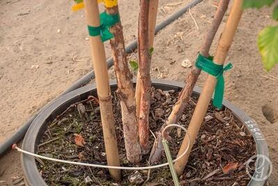 Betula, Heritage Birch Tree