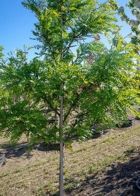 Imperial ® Honeylocust Tree