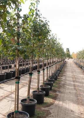 Ivory Silk Japanese Lilac Tree