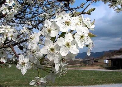 Pyrus, New Bradford Flowering Pear Tree