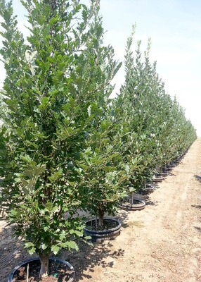 Quercus, Regal Prince Oak Tree